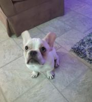 French Bulldog Puppies for sale in Bound Brook, NJ 08805, USA. price: NA