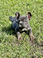 French Bulldog Puppies for sale in Murrells Inlet, SC 29576, USA. price: NA