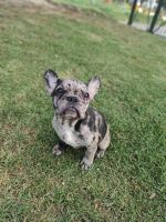 French Bulldog Puppies for sale in Foothill Ranch, CA 92610, USA. price: NA