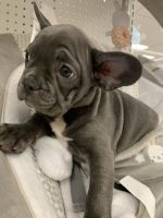 French Bulldog Puppies for sale in Behnke Ave, Memphis, TN 38114, USA. price: NA