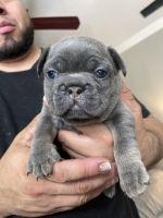 French Bulldog Puppies for sale in Biloxi, MS, USA. price: NA