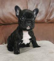 French Bulldog Puppies for sale in Salt Lake City, UT 84108, USA. price: NA