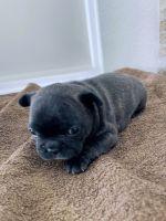 French Bulldog Puppies for sale in Mehalia Dr, Dallas, TX 75241, USA. price: NA