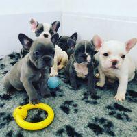 French Bulldog Puppies for sale in Elk Grove Village, IL 60007, USA. price: NA