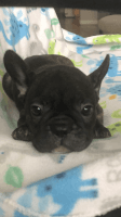 French Bulldog Puppies for sale in Oakley, CA 94561, USA. price: NA