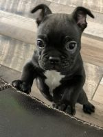 French Bulldog Puppies for sale in National City, CA, USA. price: NA