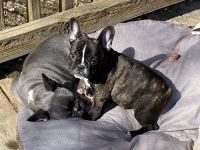 French Bulldog Puppies for sale in Amarillo, TX, USA. price: NA