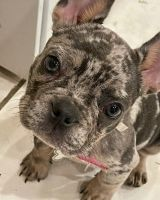 French Bulldog Puppies for sale in St. Louis, MO 63146, USA. price: NA