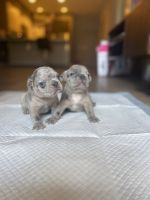 French Bulldog Puppies for sale in Los Angeles, CA, USA. price: NA