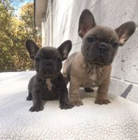 French Bulldog Puppies for sale in Adair Village, OR 97330, USA. price: NA