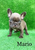 French Bulldog Puppies for sale in Murfreesboro, TN, USA. price: NA