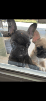 French Bulldog Puppies for sale in Anaheim, CA, USA. price: NA
