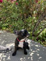 French Bulldog Puppies for sale in Orange County, CA, USA. price: NA
