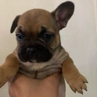 French Bulldog Puppies for sale in Elk Grove, CA, USA. price: NA
