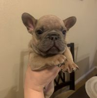 French Bulldog Puppies for sale in Imperial, CA, USA. price: NA