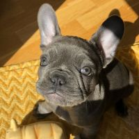 French Bulldog Puppies for sale in Gainesville, FL, USA. price: NA