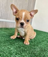 French Bulldog Puppies for sale in Palmdale, CA 93550, USA. price: NA