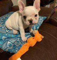 French Bulldog Puppies for sale in Casper, WY, USA. price: NA