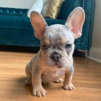 French Bulldog Puppies for sale in Greenville, SC, USA. price: NA
