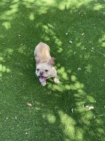French Bulldog Puppies for sale in Jupiter, FL, USA. price: NA