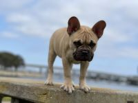 French Bulldog Puppies for sale in San Diego, CA, USA. price: NA