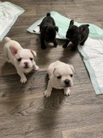 French Bulldog Puppies for sale in Scottsdale, AZ, USA. price: NA
