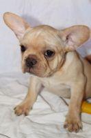 French Bulldog Puppies for sale in Mesa, AZ, USA. price: NA