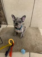French Bulldog Puppies for sale in Maple Heights, OH, USA. price: NA