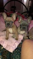 French Bulldog Puppies for sale in Lubbock, TX, USA. price: NA