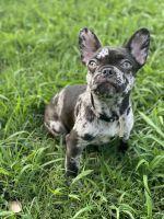French Bulldog Puppies for sale in Pleasant Grove, AL, USA. price: NA