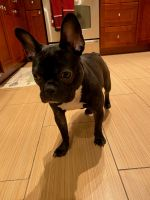 French Bulldog Puppies for sale in Baltimore, MD, USA. price: NA