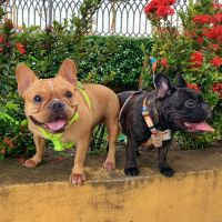 French Bulldog Puppies for sale in Columbia Pl, Los Angeles, CA 90026, USA. price: NA