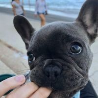 French Bulldog Puppies for sale in Texas City, TX, USA. price: NA