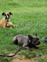 French Bulldog Puppies for sale in Cherry Hill, NJ, USA. price: NA