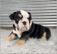 French Bulldog Puppies for sale in Philadelphia, PA, USA. price: NA