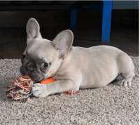 French Bulldog Puppies for sale in Oklahoma City, OK, USA. price: NA