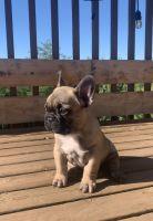 French Bulldog Puppies for sale in Chehalis, WA 98532, USA. price: NA