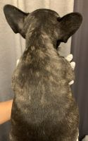 French Bulldog Puppies for sale in Maineville, OH 45039, USA. price: NA