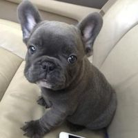 French Bulldog Puppies for sale in San Francisco, CA, USA. price: NA
