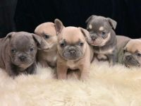 French Bulldog Puppies for sale in Grand Junction, CO, USA. price: NA