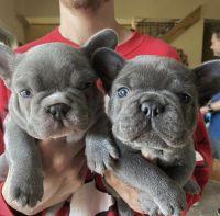 French Bulldog Puppies for sale in 20755 Williamsport Pl, Ashburn, VA 20147, USA. price: NA