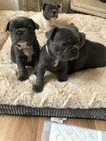 French Bulldog Puppies for sale in San Antonio, TX, USA. price: NA