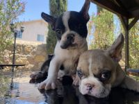 French Bulldog Puppies for sale in El Paso, TX, USA. price: NA