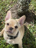 French Bulldog Puppies for sale in Miramar, FL, USA. price: NA