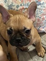 French Bulldog Puppies for sale in Harker Heights, TX, USA. price: NA
