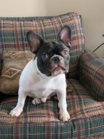 French Bulldog Puppies for sale in Olathe, CO 81425, USA. price: NA