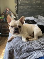 French Bulldog Puppies for sale in Corryton, TN 37721, USA. price: NA
