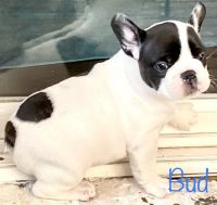 French Bulldog Puppies for sale in Chesnee, SC 29323, USA. price: NA