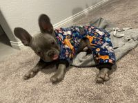 French Bulldog Puppies for sale in Las Vegas, NV, USA. price: NA
