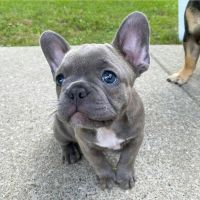 French Bulldog Puppies for sale in Charlotte, NC, USA. price: NA